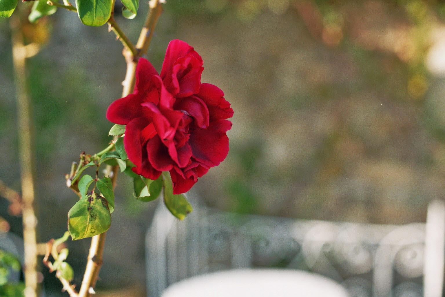 prachtige-rode-roos
